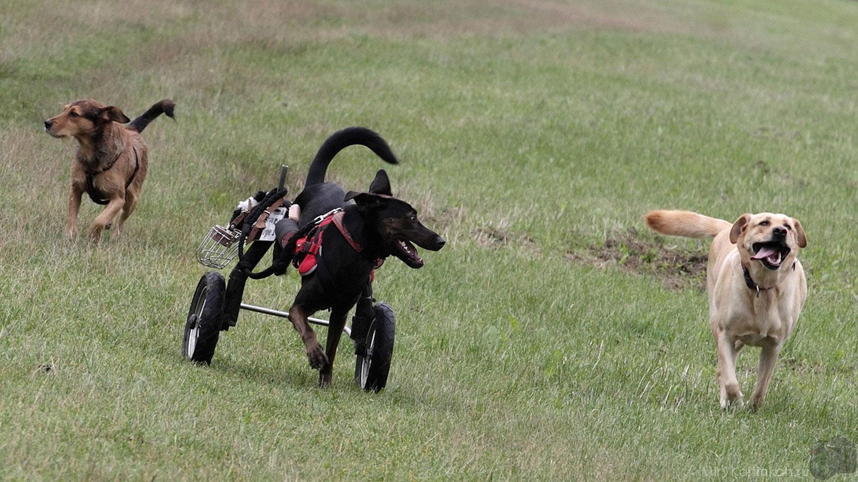 собака в инвалидной коляске