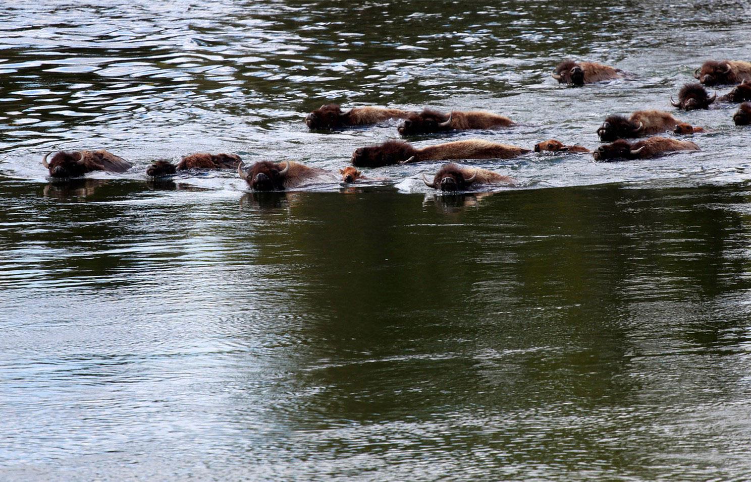 бизоны в реке