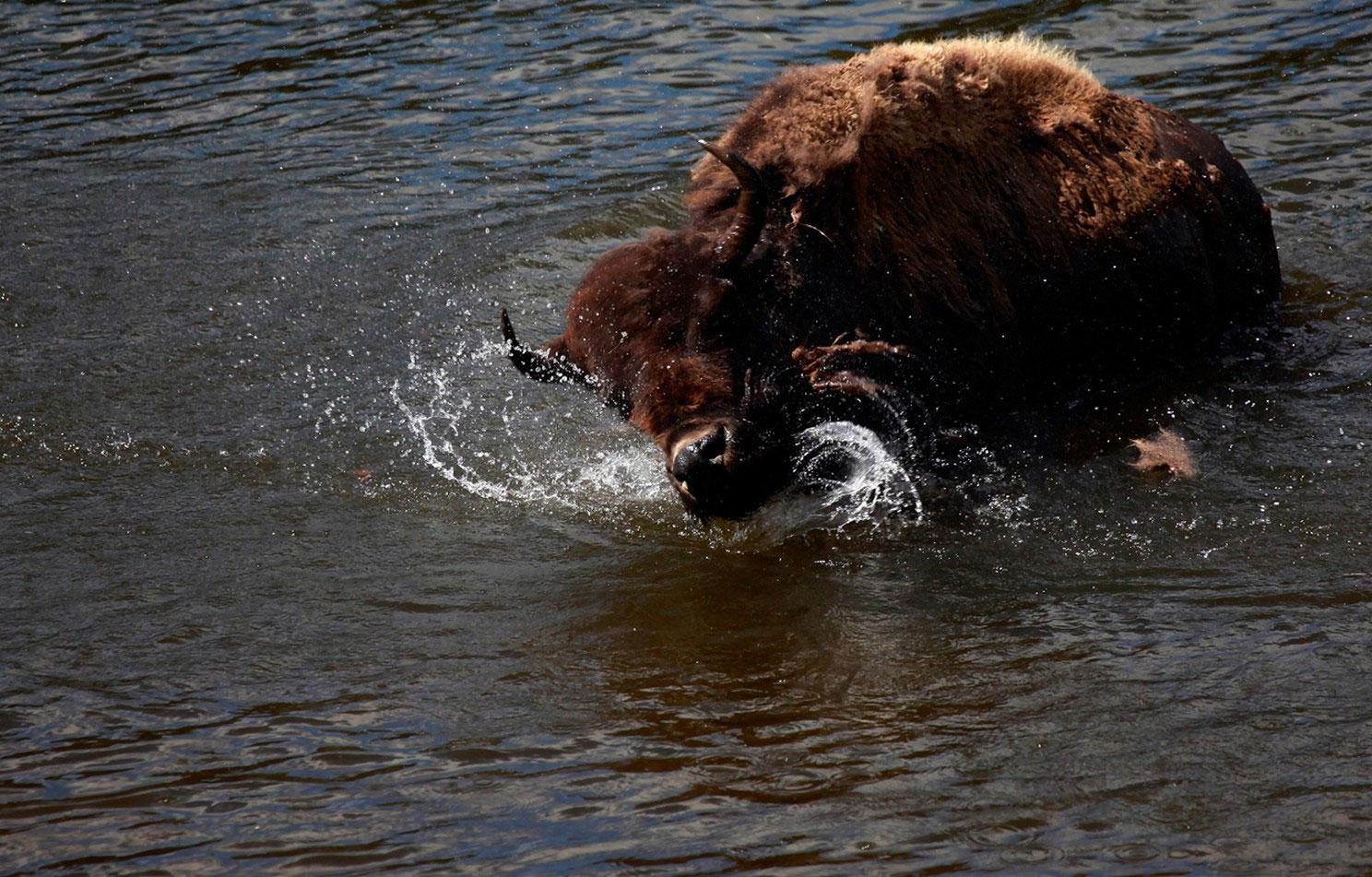 купание бизона