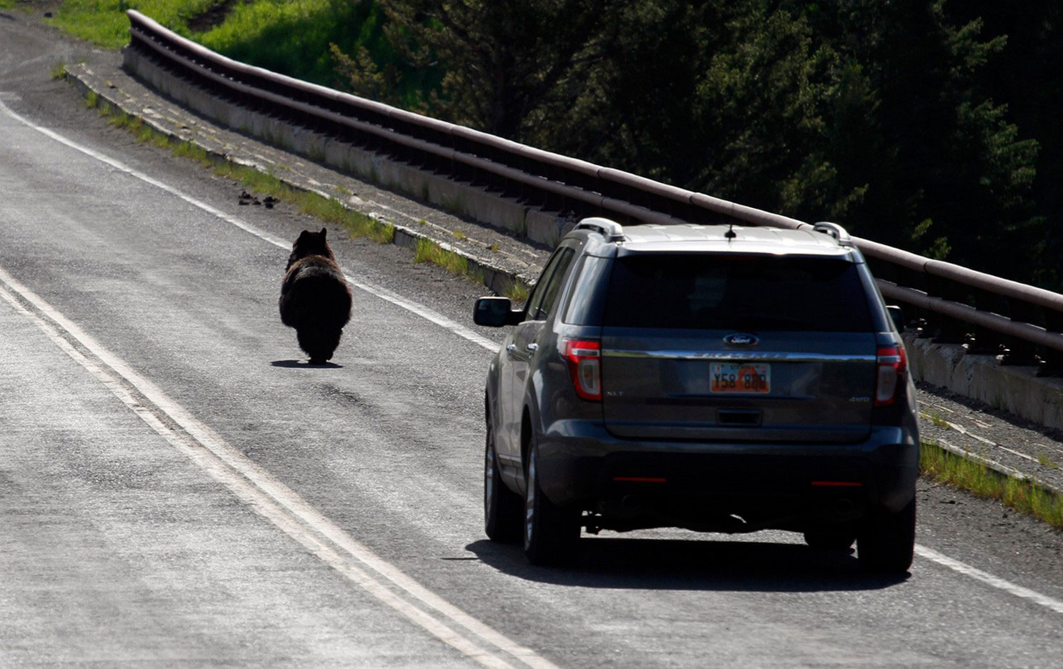 Гималайский медведь бежит от машины