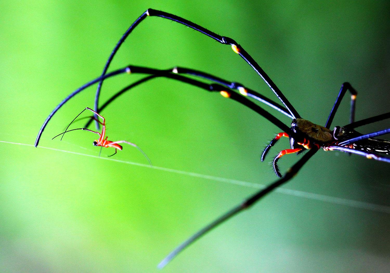 Самка гигантского древесного паука