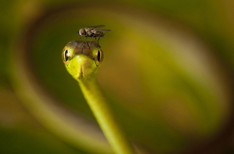 муха на змее