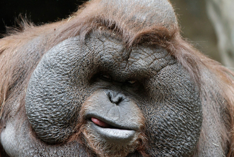 Самец орангутанга, интересные фото