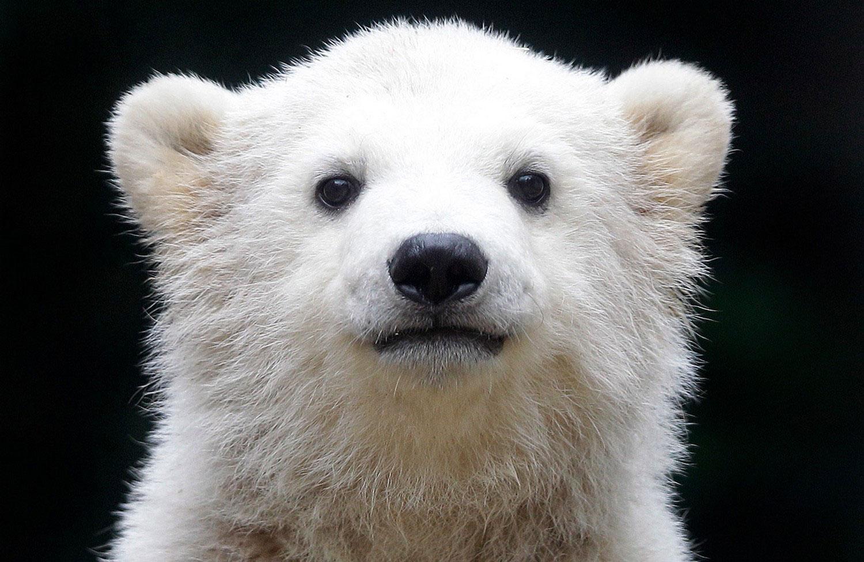 Полярный медвежонок, фото животных