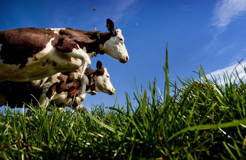 Коровы, фото