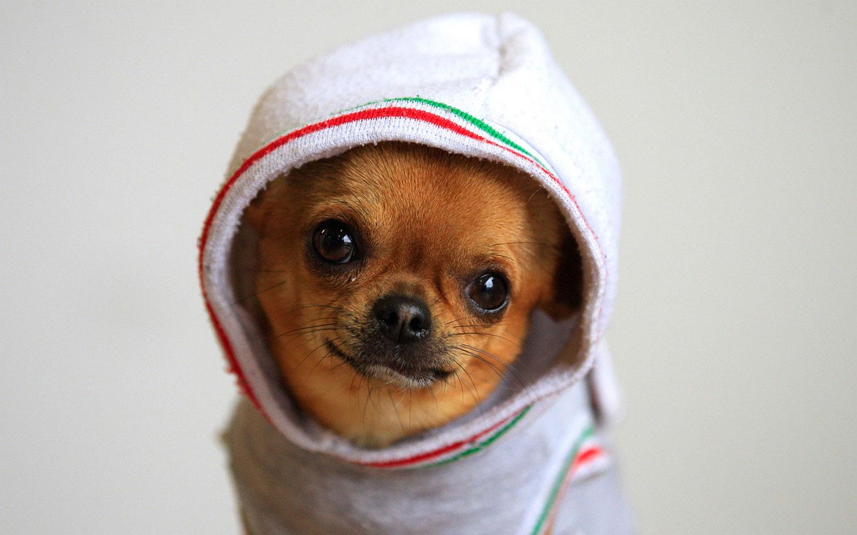 собака чихуа, фото
