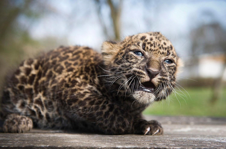 детеныш леопарда, интересные фото животных