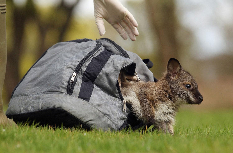 детеныш кенгуру, фото