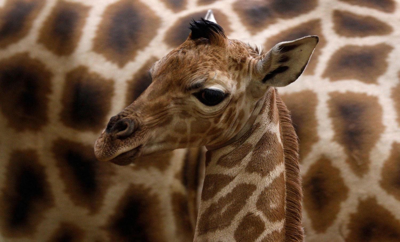 детеныш жирафа в Праге, интересные фото