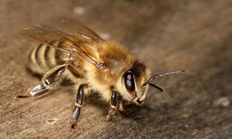 Одиночные пчелы, фото