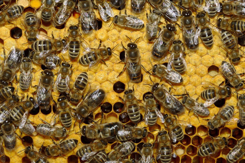 Медоносные пчелы, фото