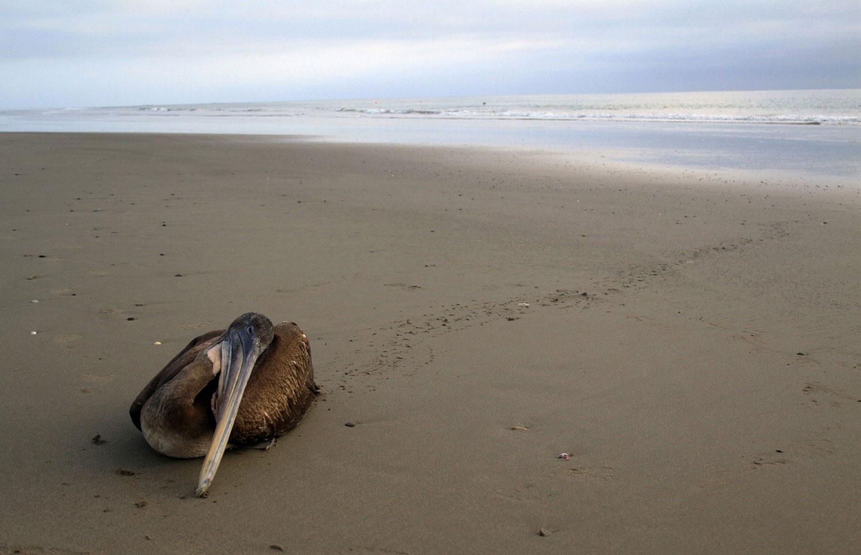пеликан, фото животных