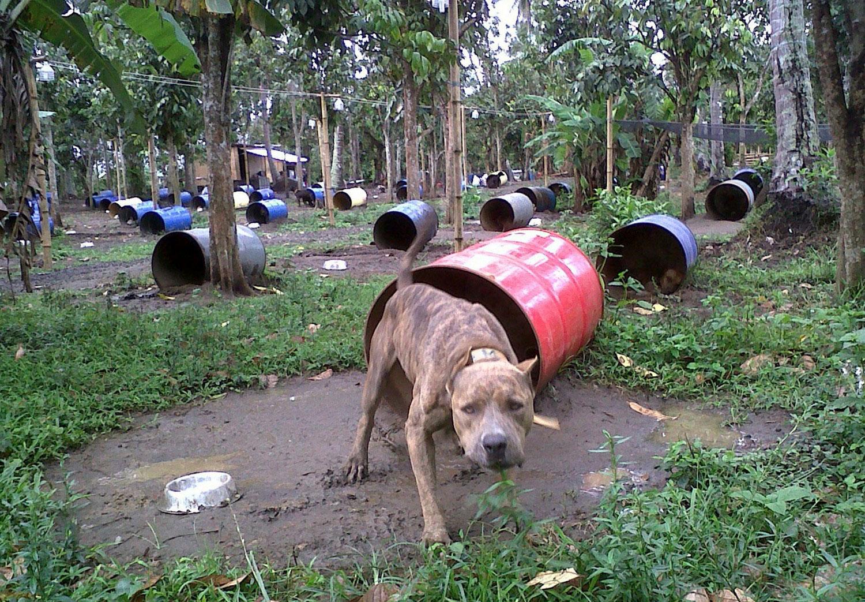 собаки питбультерьеры, фото
