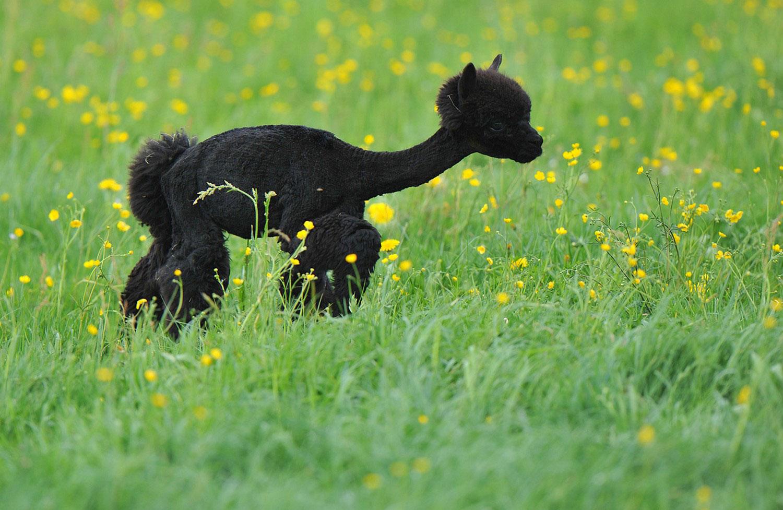 альпака, фото животных