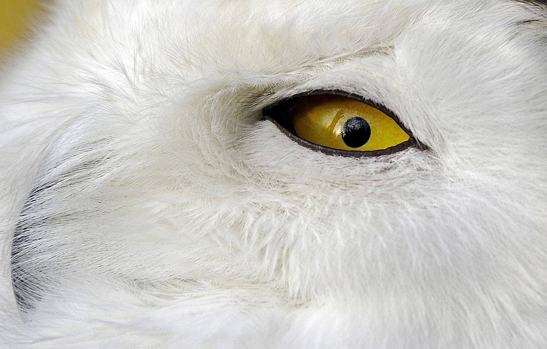 Полярная сова, фото