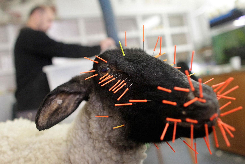 Чучело овцы в музее, интересные фото
