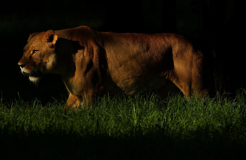 Львица, фото