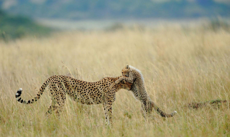 гепарды, фото животных