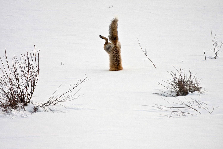 лиса на охоте, фото