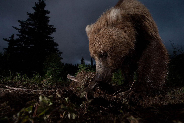 Бурый медведь, фото