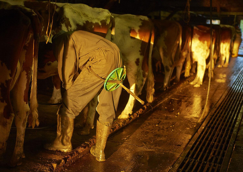 дойка коров