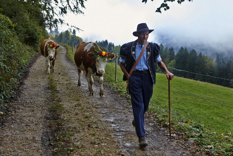 фермер и коровый