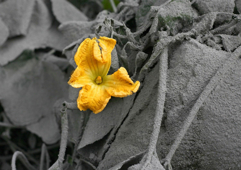 Цветок в пепле