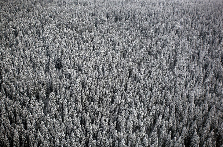 Сосновый лес, фото
