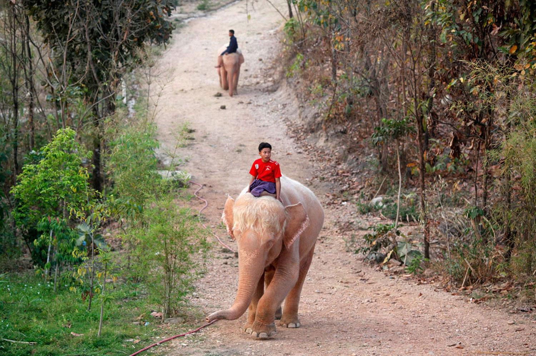 белые слоны, фото