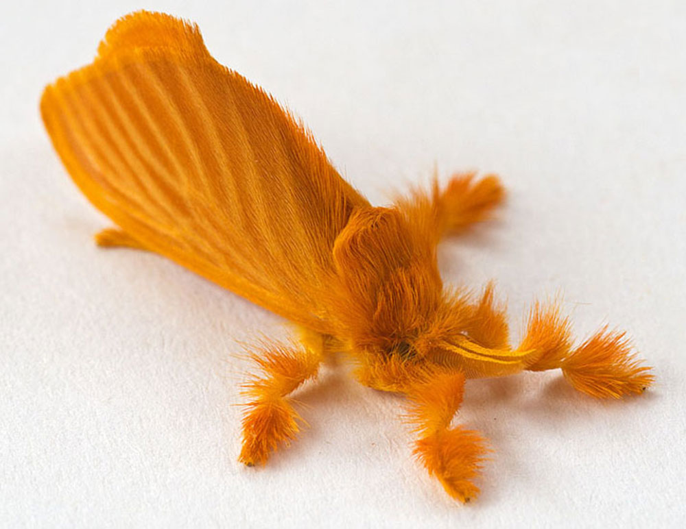 оранжевая мохнатая бабочка