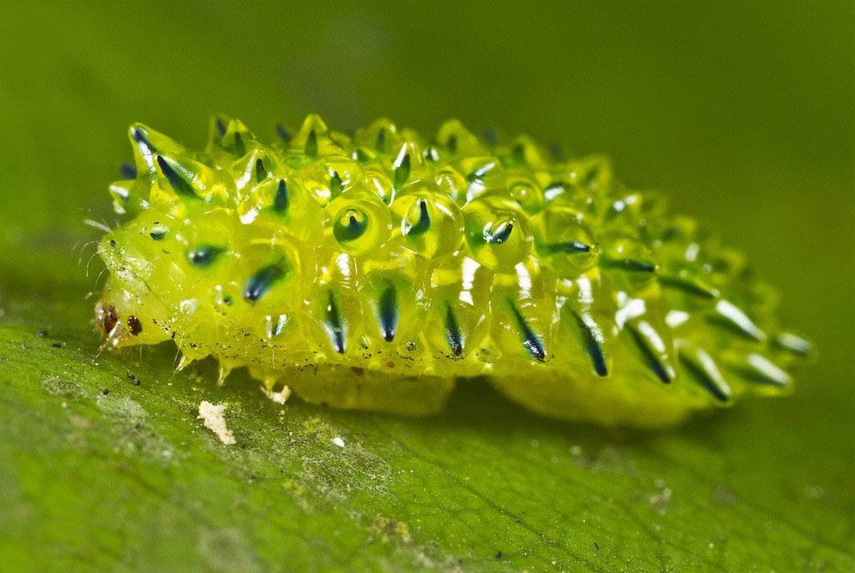желеобразная личинка