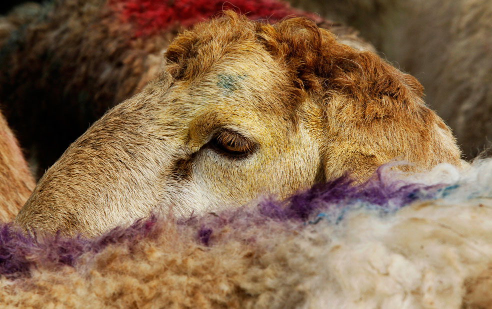 Овца на рынке перед Ид аль-Адха, фото Курбан-байрам