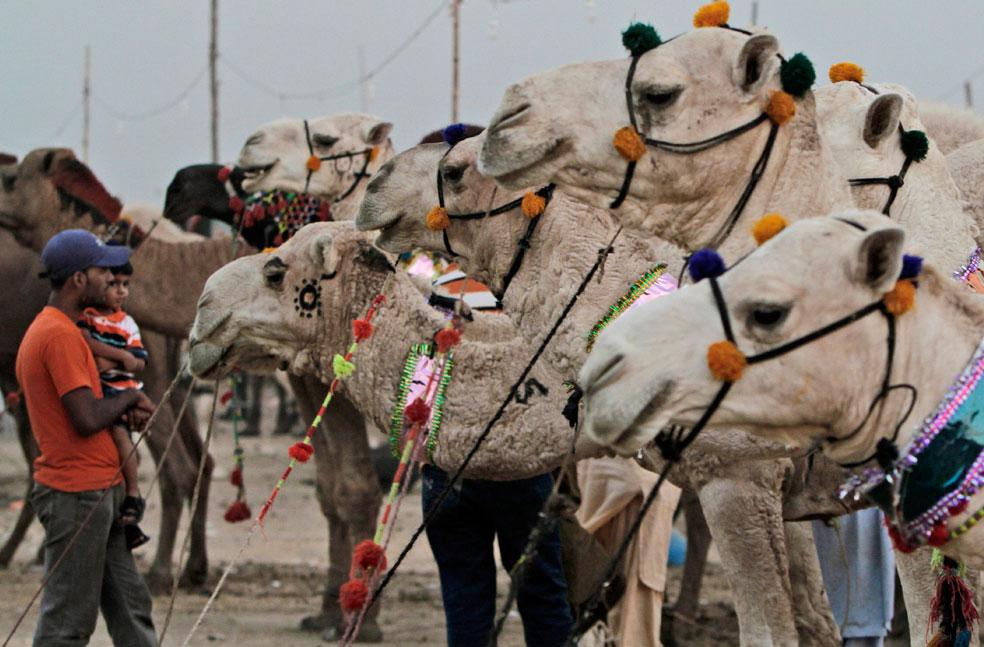 Верблюды выставлены на продажу, фото Курбан-байрам