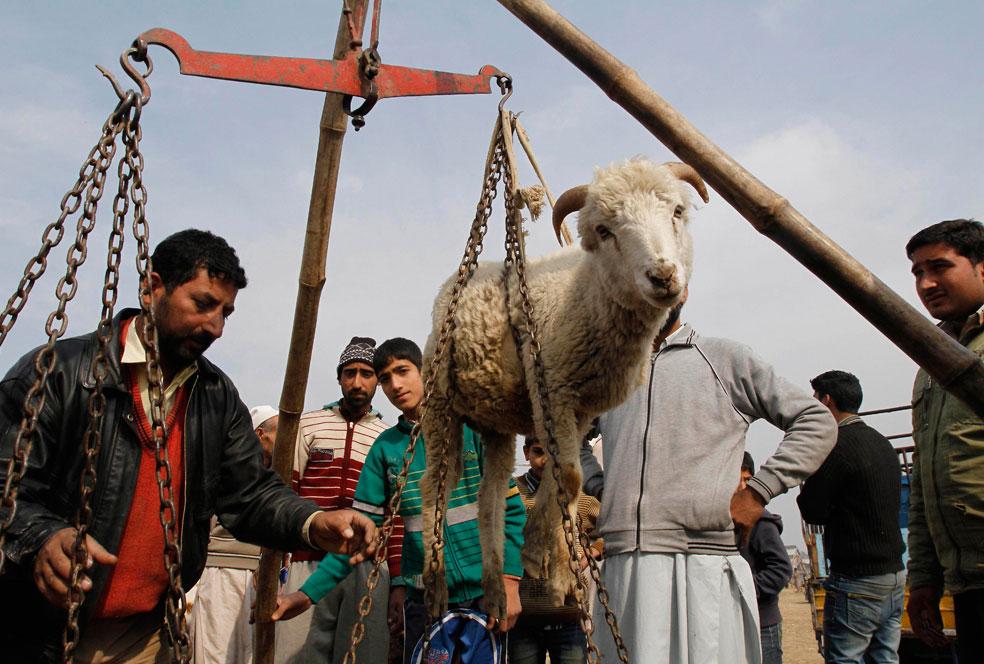 Взвешивание овцы, фото Курбан-байрам
