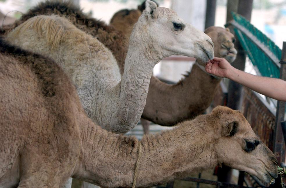 Верблюды кушают на скотном рынке, фото Курбан-байрам