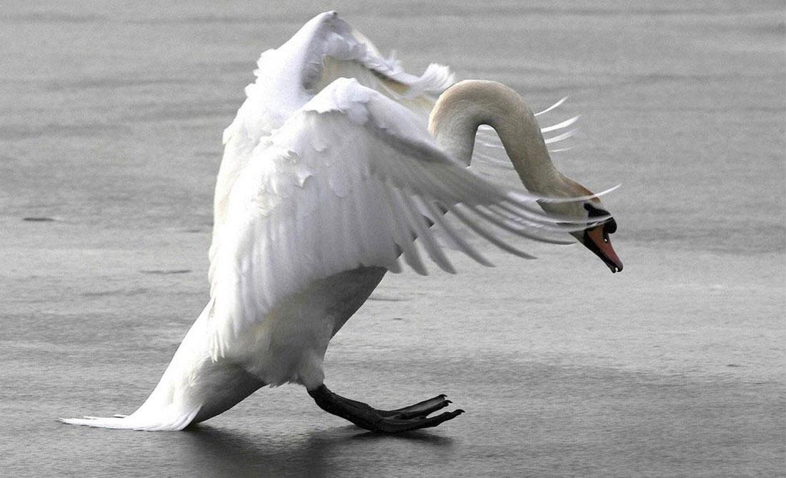 Лебедь на замерзшем озере, фото