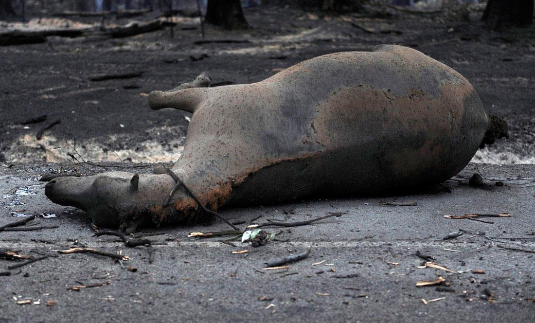 Мертвая лошадь лежит на дороге, фото из Австралии