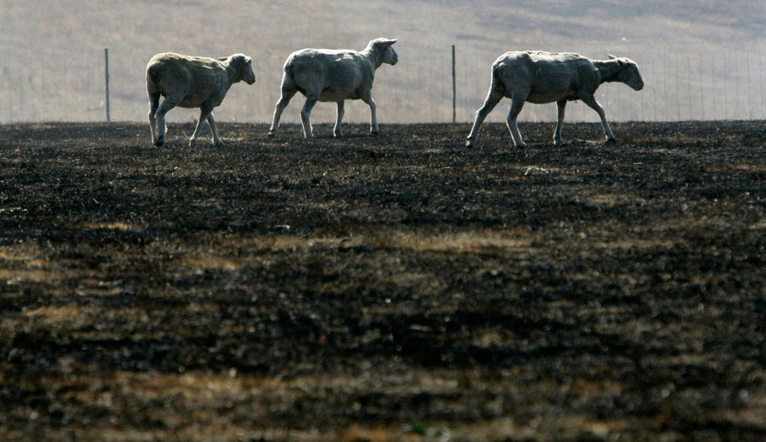 Овцы, фото из Австралии
