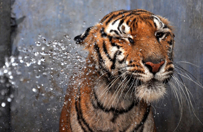 Бенгальского тигра поливают из шланга, фото летнего пейзажа
