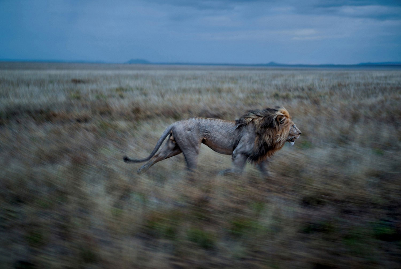 бег льва