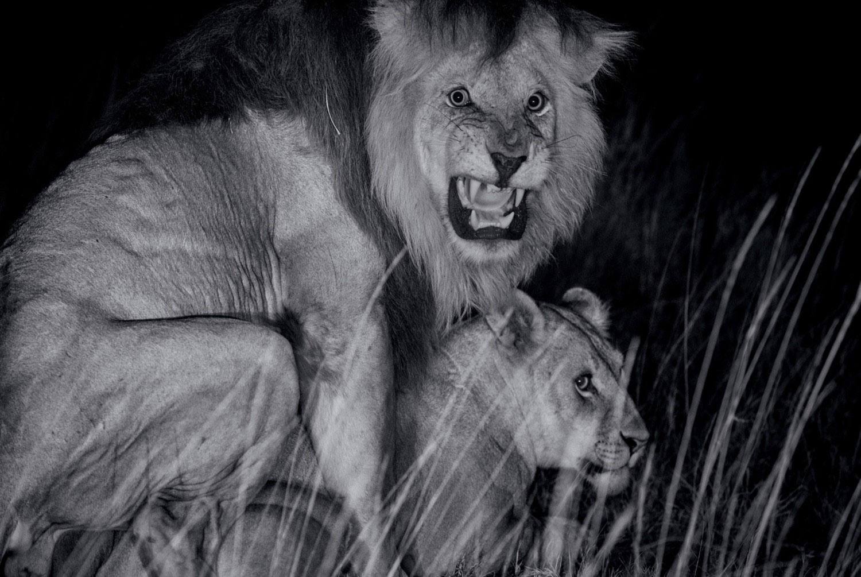 Спаривание хищников