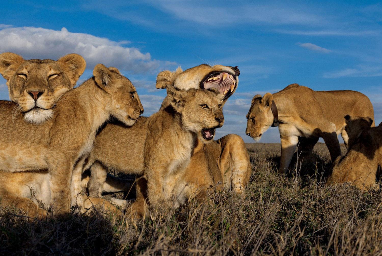 львиный прайд на отдыхе