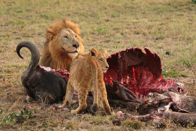 семейство хищников за обедом