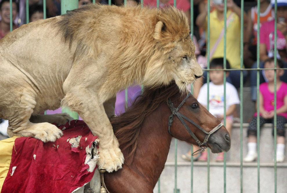 цирк, лев на лошади, фото