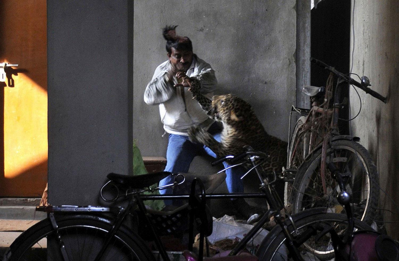 Леопард атаковал человека, фотография