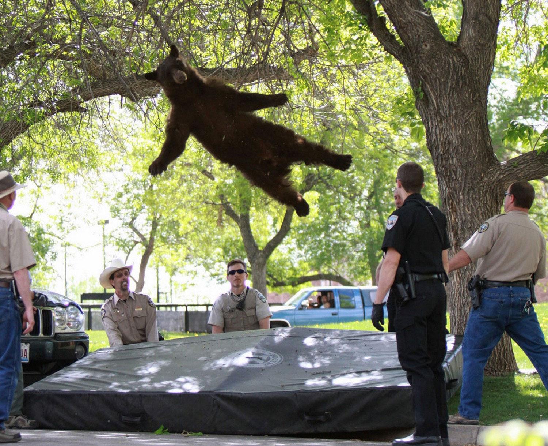 Медведь в штате Колорадо, снимок