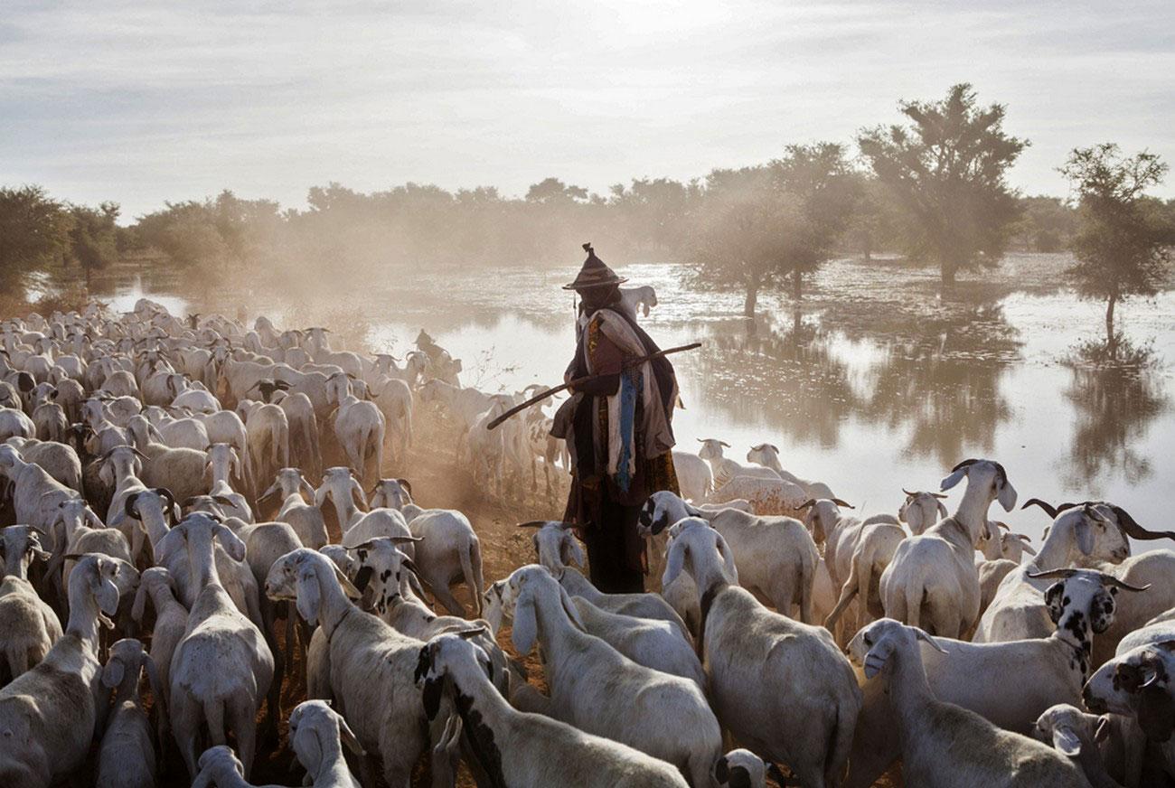 Малийский пастух с козами, фото Мали