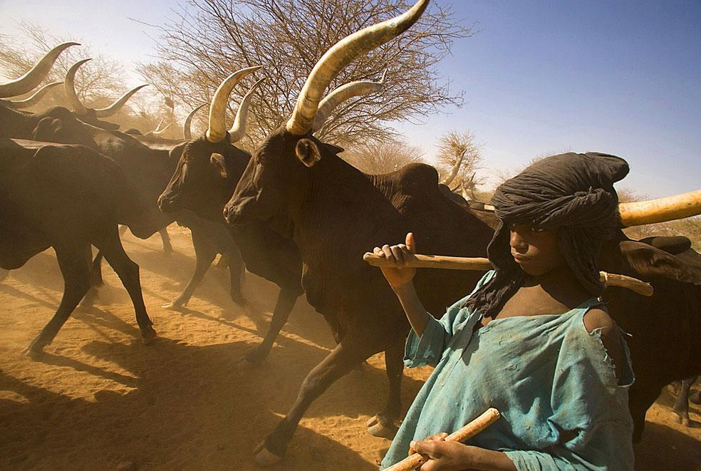 Мальчик ведет стадо коров в пустыне, фото