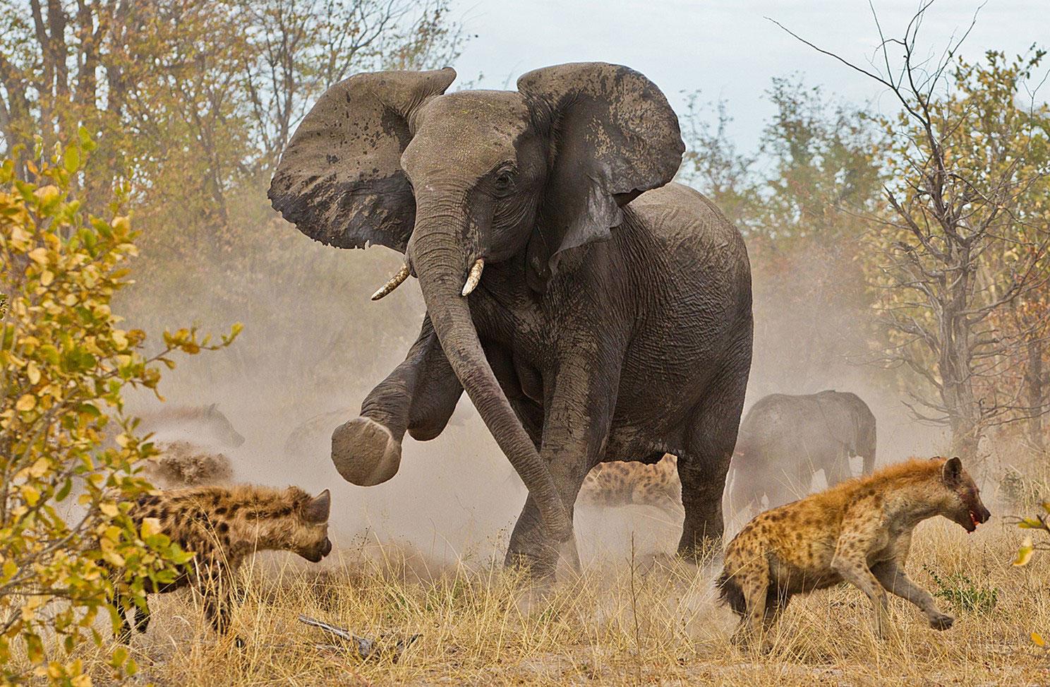 гиены напали на слоненка