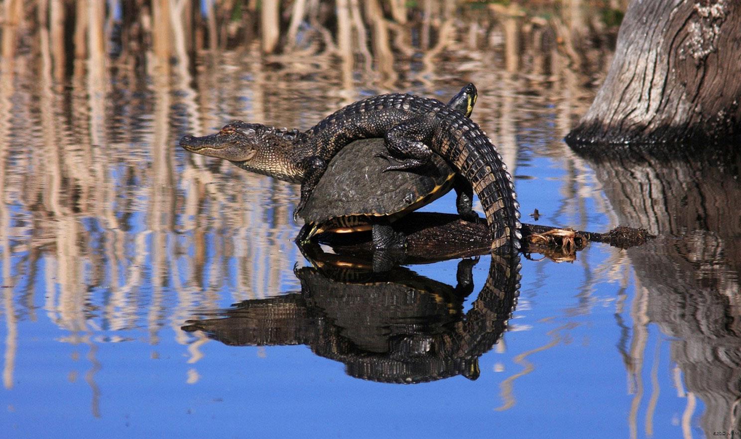 аллигатор на черепахе
